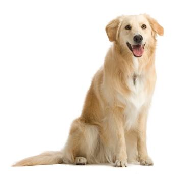 Демодекс у собак — это