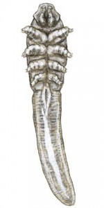 Длинный демодекс